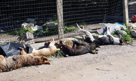 Penisola/ Contro la strage dei cani in Sicilia, domenica prossima fiaccolata da Meta a Sorrento