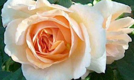 La Quaresima di Giancarlo d'Esposito/ Un fiore nel ricordo di Rosellina