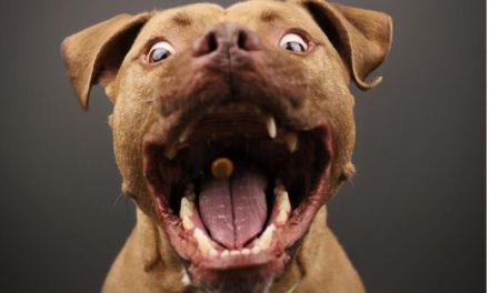 Penisola sorrentina/ Aumento vertiginoso di Pitbull, Akita e Bull Terrier Tommaso D'Angelo (Canis Sapiens) lancia l'allarme dopo le aggressioni dei giorni scorsi