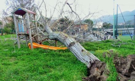 """Piano di Sorrento/ Crolla un grosso albero nel parco giochi – """"E' assurdo abbattono quelli buoni e lasciano quelli secchi"""": l'intervento di Claudio d'Esposito (WWF)"""