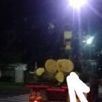 Sant'Agnello/ Ecco le prove dello stato di salute del Pino di Piazza Mercato, la foto-notizia di Claudio d'Esposito (WWF)