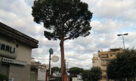 """Sant'Agnello/ Blitz notturno: abbattuto il pino della """"discordia"""" di Piazza Mercato"""